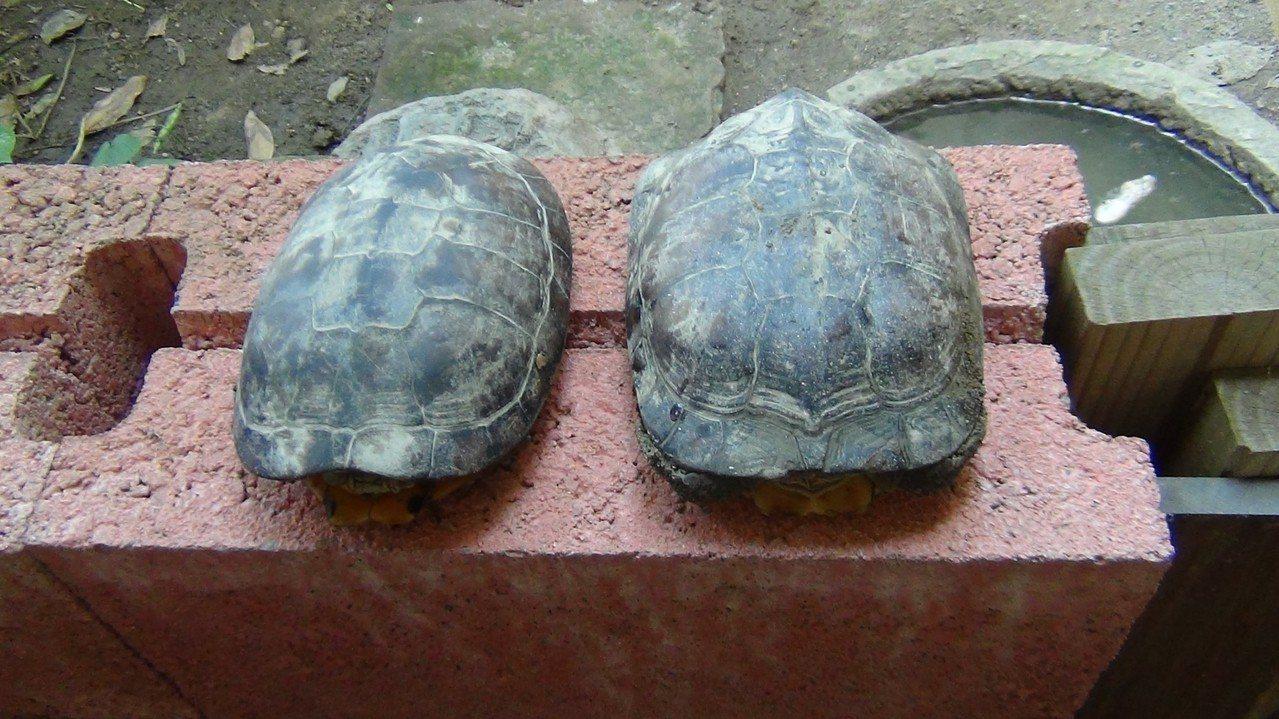 警方還查獲2隻保育類柴棺龜。記者謝恩得/翻攝