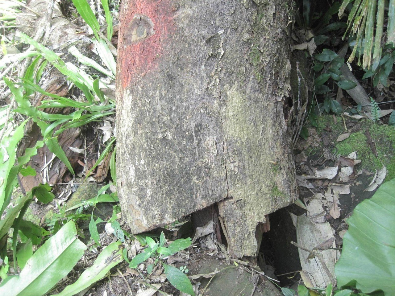被偷挖的百年茄冬樹後來移植沒成功,不幸枯死。記者謝恩得/翻攝
