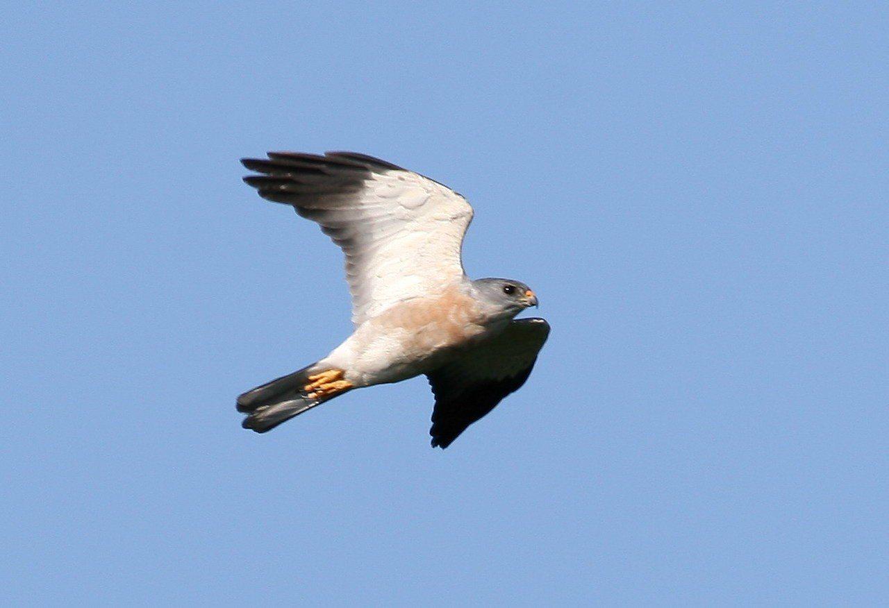 過境墾丁數量最多的赤腹鷹,在天空的飛翔英姿。圖/墾管處提供