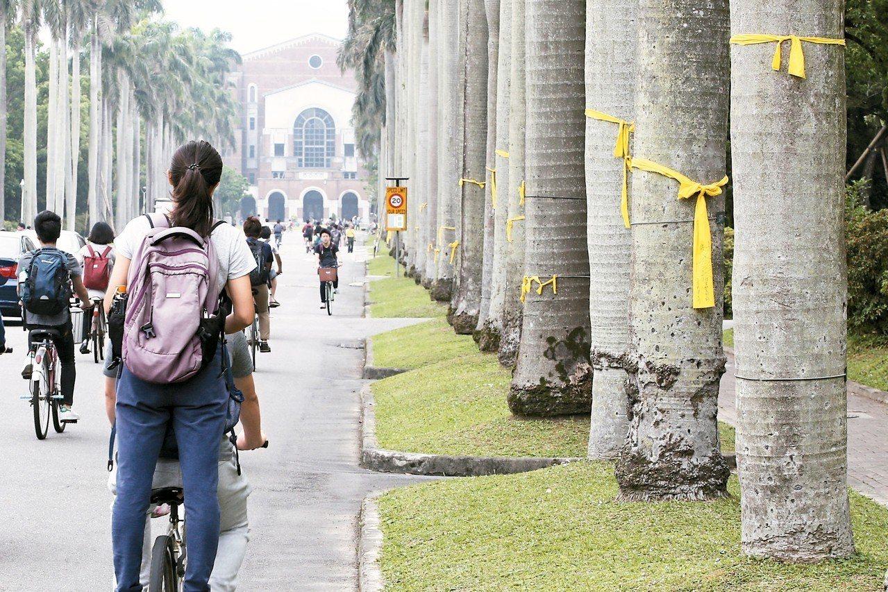 為了表達對教育部處理卡管案的不滿,台大學生之前在椰林大道綁上黃絲帶聲援管中閔,如...