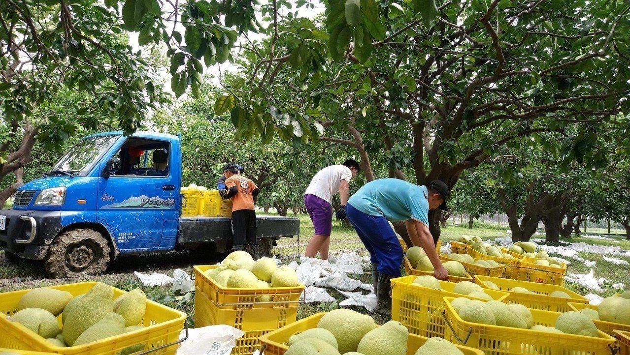 嘉義大學農場管理公費班學生 利用暑假期間協助麻豆柚農進行柚子採收。 記者謝進盛/...