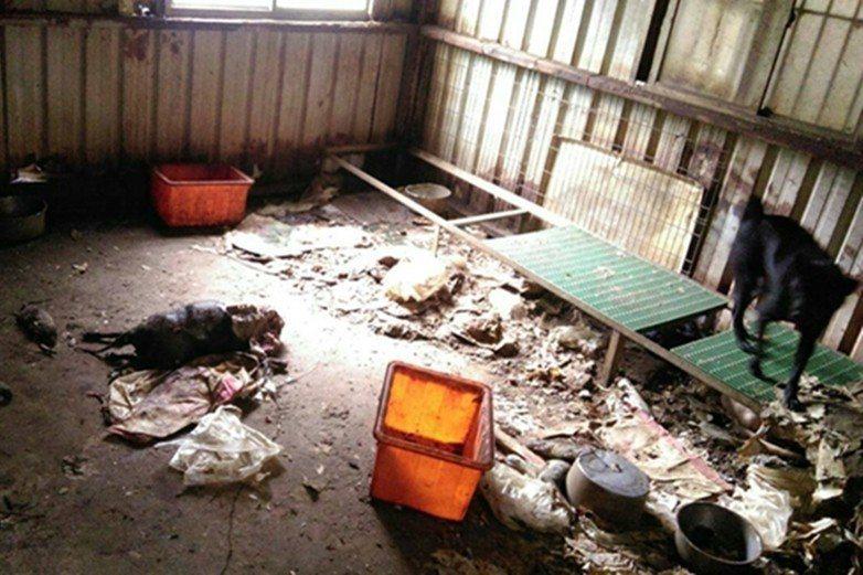 2015年小坪頂私人狗場,裡面的狗吃的是廚餘餿水,圖中央的狗則已死忘。 圖/劉盈如提供