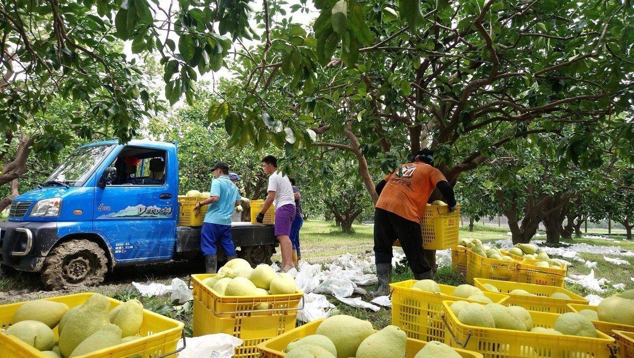 嘉義大學農場管理公費班學生 利用暑假期間協助麻豆柚農進行柚子採收。圖/林明瑩提供