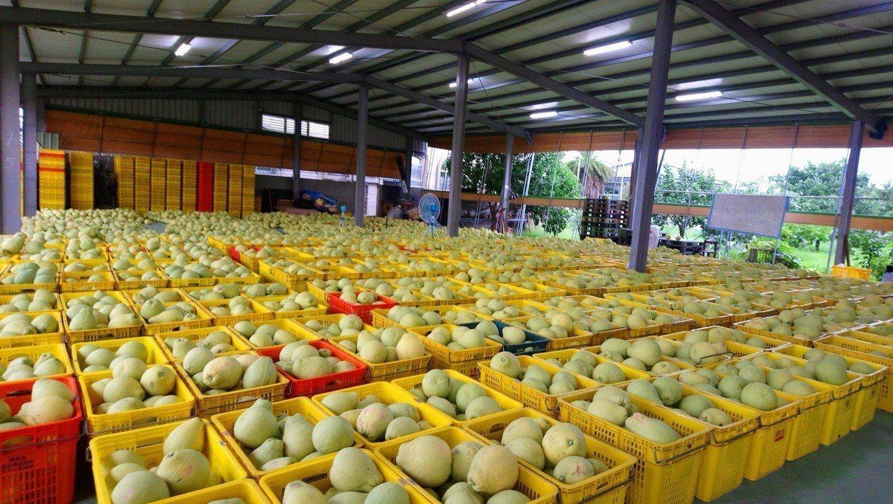 採收完等待裝箱的文旦柚。圖/林明瑩提供