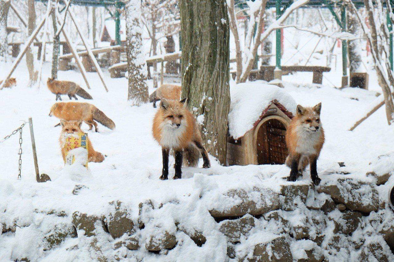 宮城藏王狐狸村。圖/雄獅旅遊提供