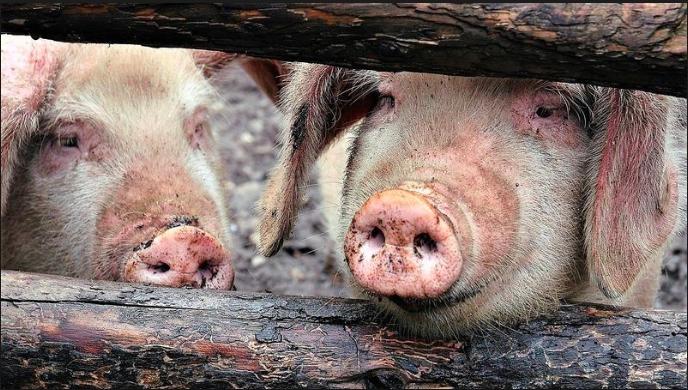大陸多個省市爆發非洲豬瘟,其中安徽省更接連確診多宗疫情。(中國經濟日報)