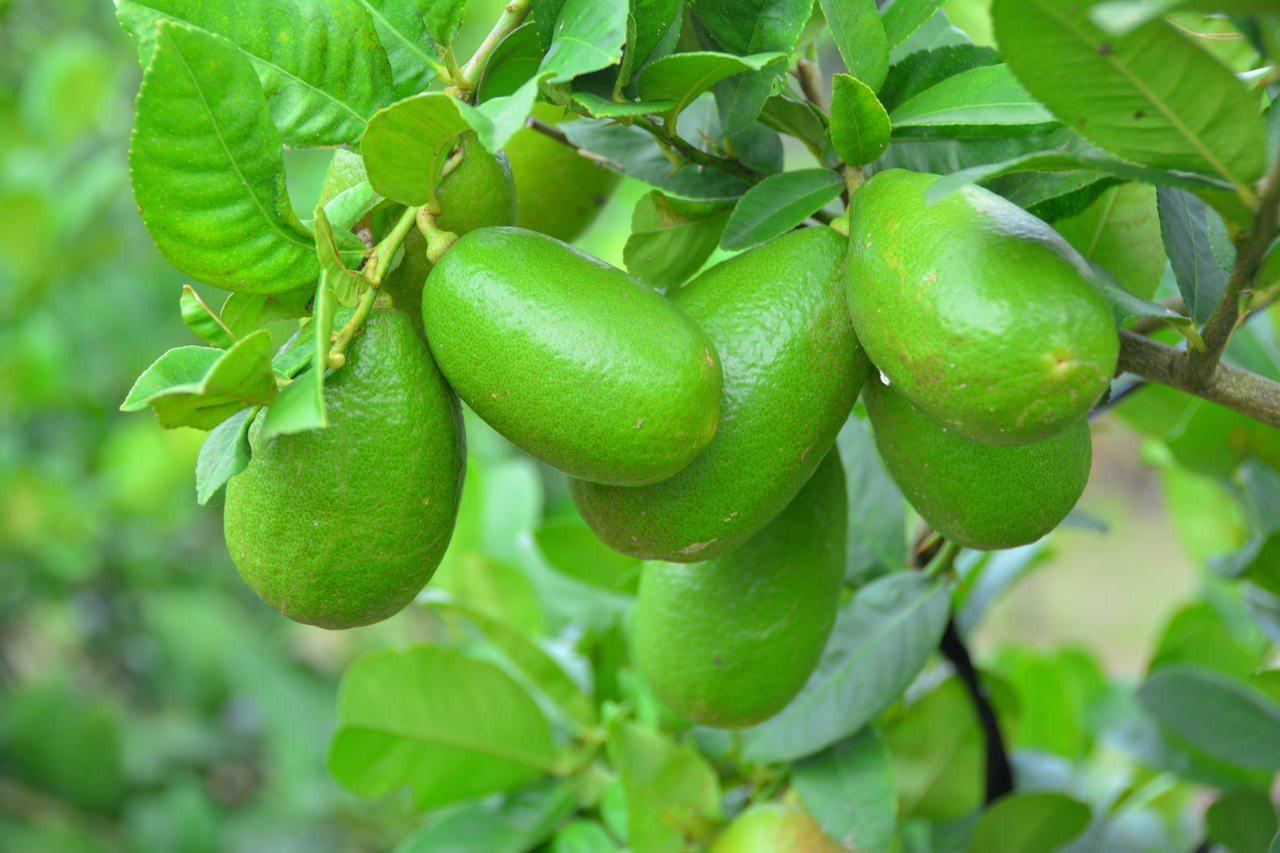江明賢栽種的香水檸檬,可連皮食用。記者吳淑玲/攝影