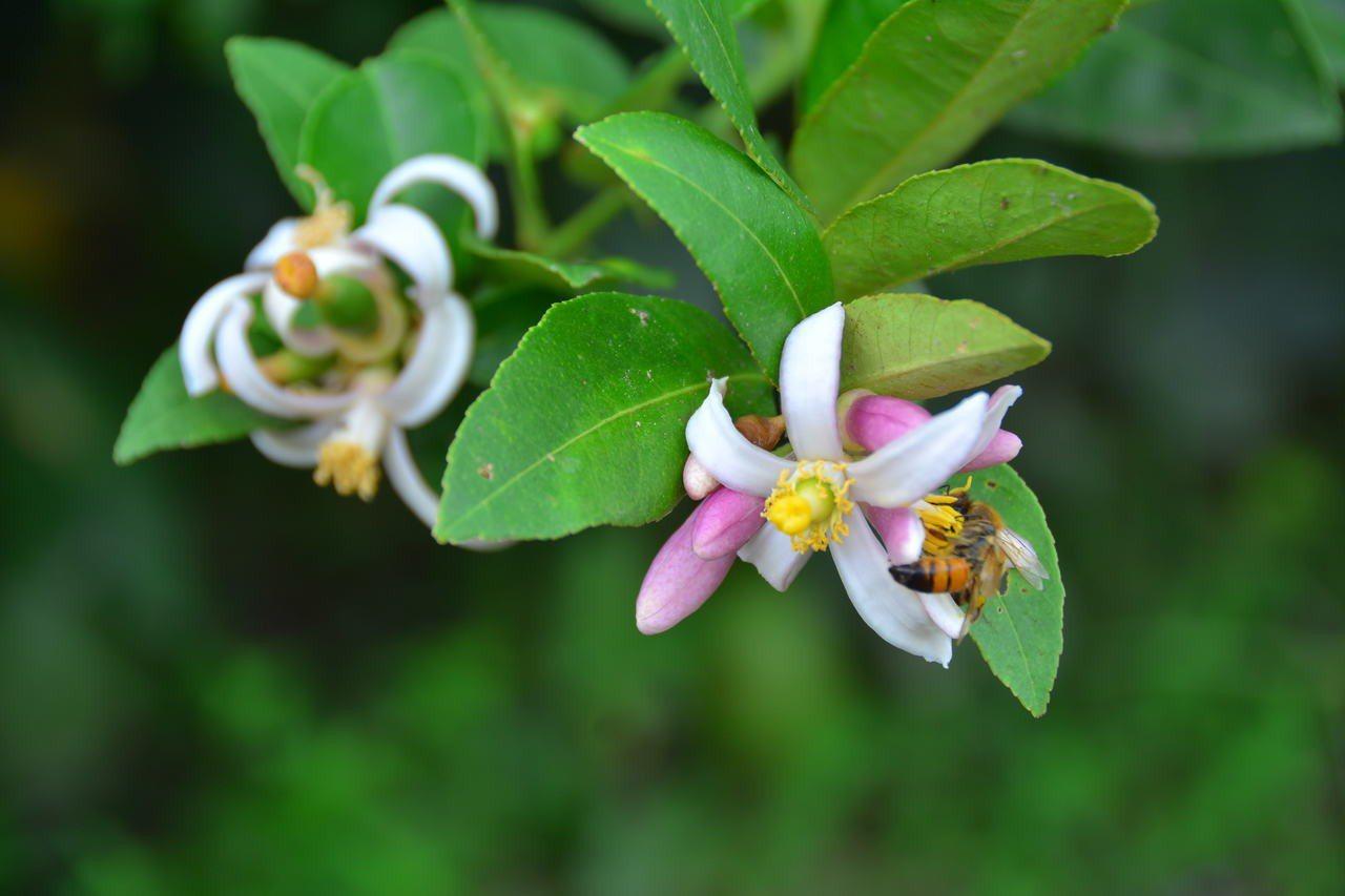 江明賢的無毒香水檸檬開花時,吸引蜜蜂採蜜。記者吳淑玲/攝影