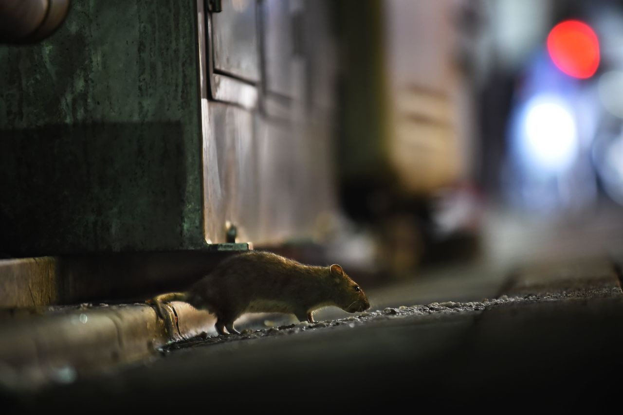 一隻老鼠8月30日在築地市場附近的新橋區流竄。隨著商家遷往新的豐洲市場在即,東京...