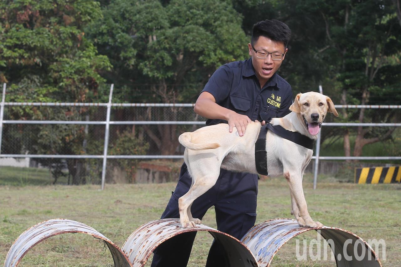 緝毒犬訓練中心訓練師林昆成說,每期輯毒犬訓練課程受訓犬隻擇優挑選約十二隻,其中成...