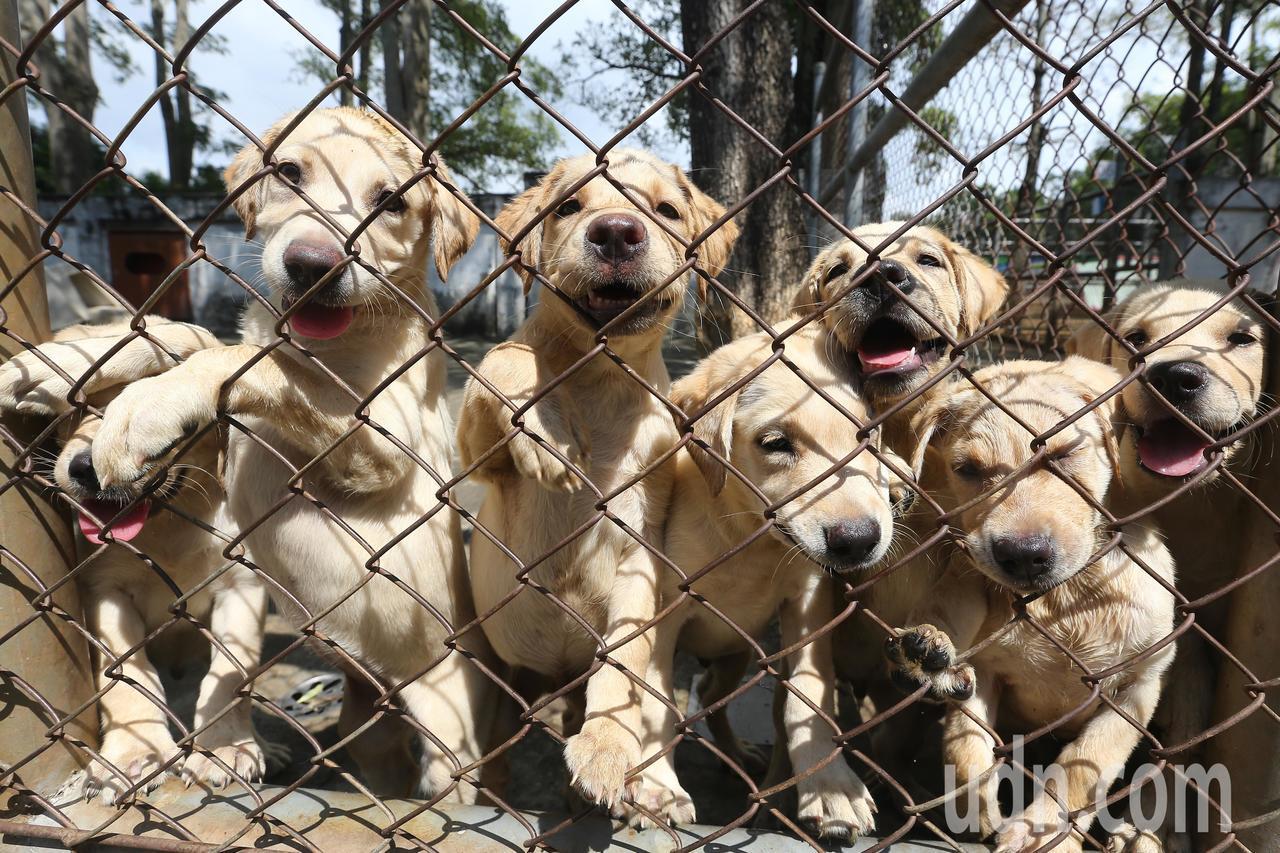 緝毒犬訓練中心培育員吳小華指出,適合擔任緝毒犬的犬隻必須對環境的適應力佳、有自信...