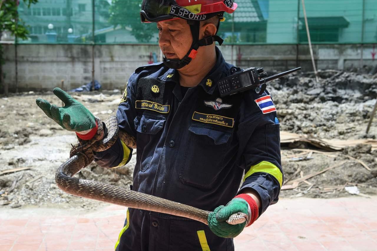 一隻在曼谷民宅被圍捕就擒的南蛇( Oriental rat snake )盤據在...