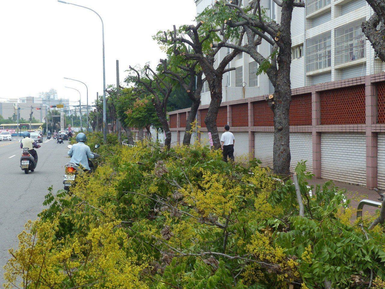 彰化市三民路陽明國中圍牆的台灣欒樹,這時正好花開繁盛,最近卻被理了光頭,讓民眾直...