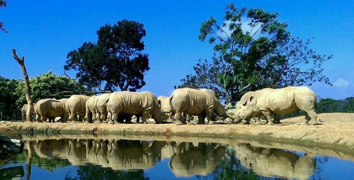 中秋連假來賞犀牛,度過有意義的生態保育假期。圖/六福村提供