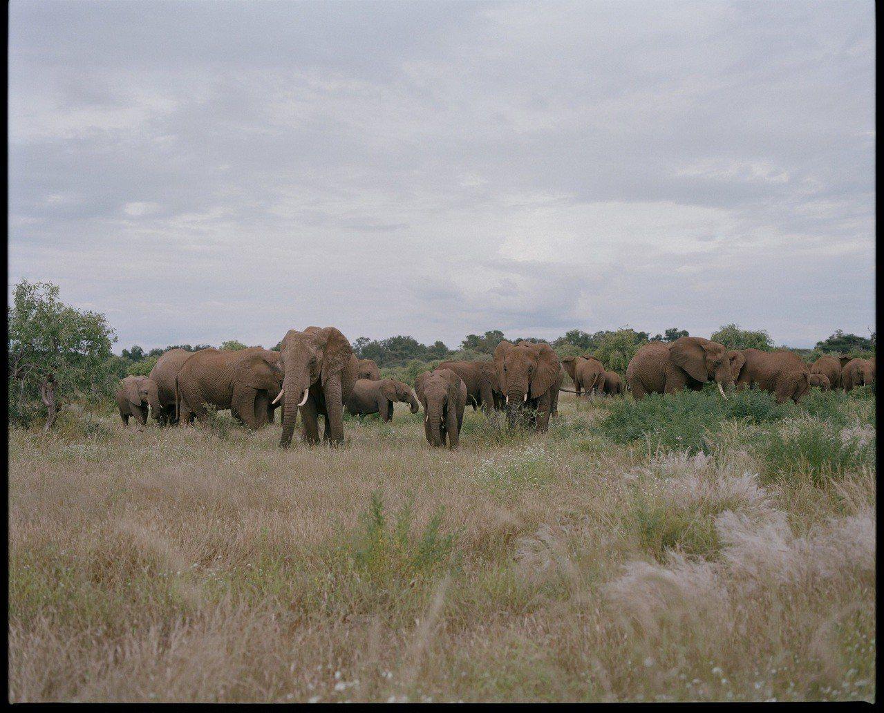 肯亞桑布魯國家保護區(Samburu National Reserve)的象群。...