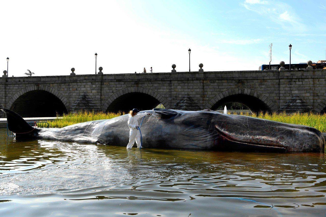 比利時藝術團體,在西班牙馬德里展出名為「鯨」的裝置藝術,在河中擺出一隻栩栩如生的...