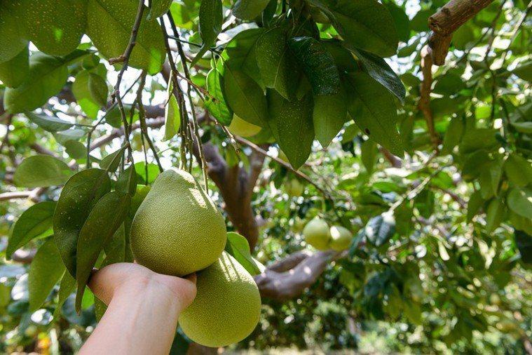 台灣東西部、北區等三大產區的文旦柚各有特色。圖/農委會提供