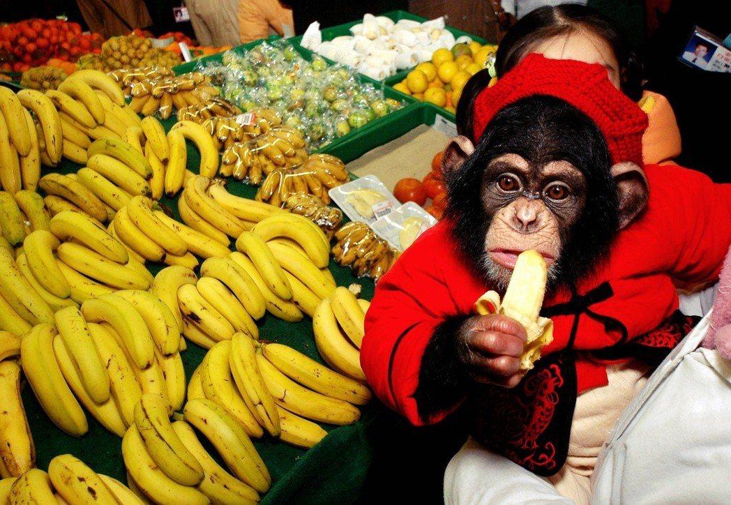 問題是,誰來開農業區塊鏈的改革第一槍呢?圖為正準備大啖香蕉的黑猩猩。 圖/路透社