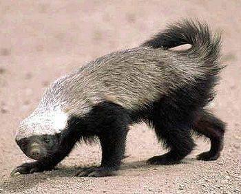 非洲「蜜獾」又被別稱為「平頭哥」。 圖/截自維基百科
