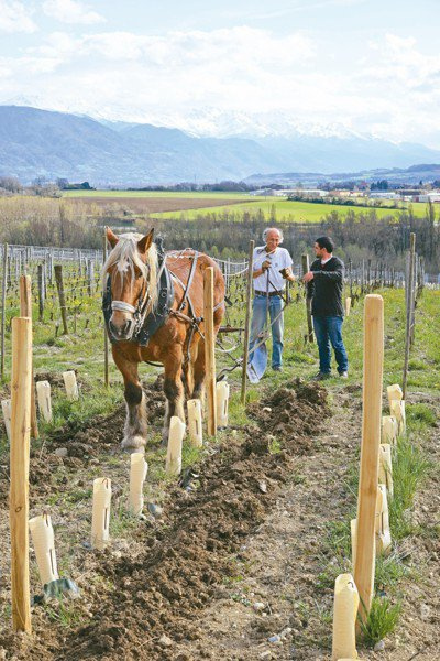 採行自然動力農法在頂尖知名的酒莊間幾近常態。 圖/林裕森