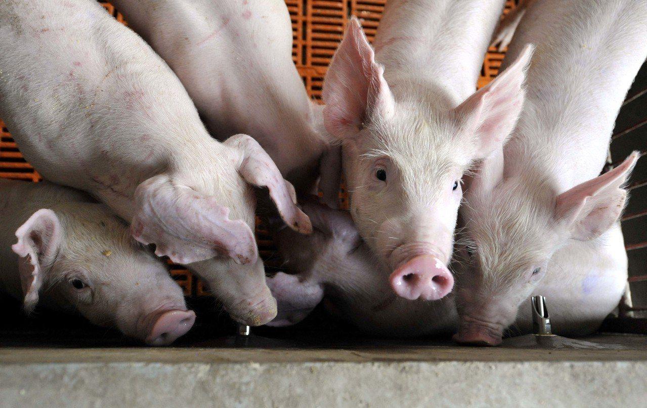 大陸專家表示,人臉識別已經不稀奇,豬臉識別技術已經逐漸走向商業化。新華社資料照片