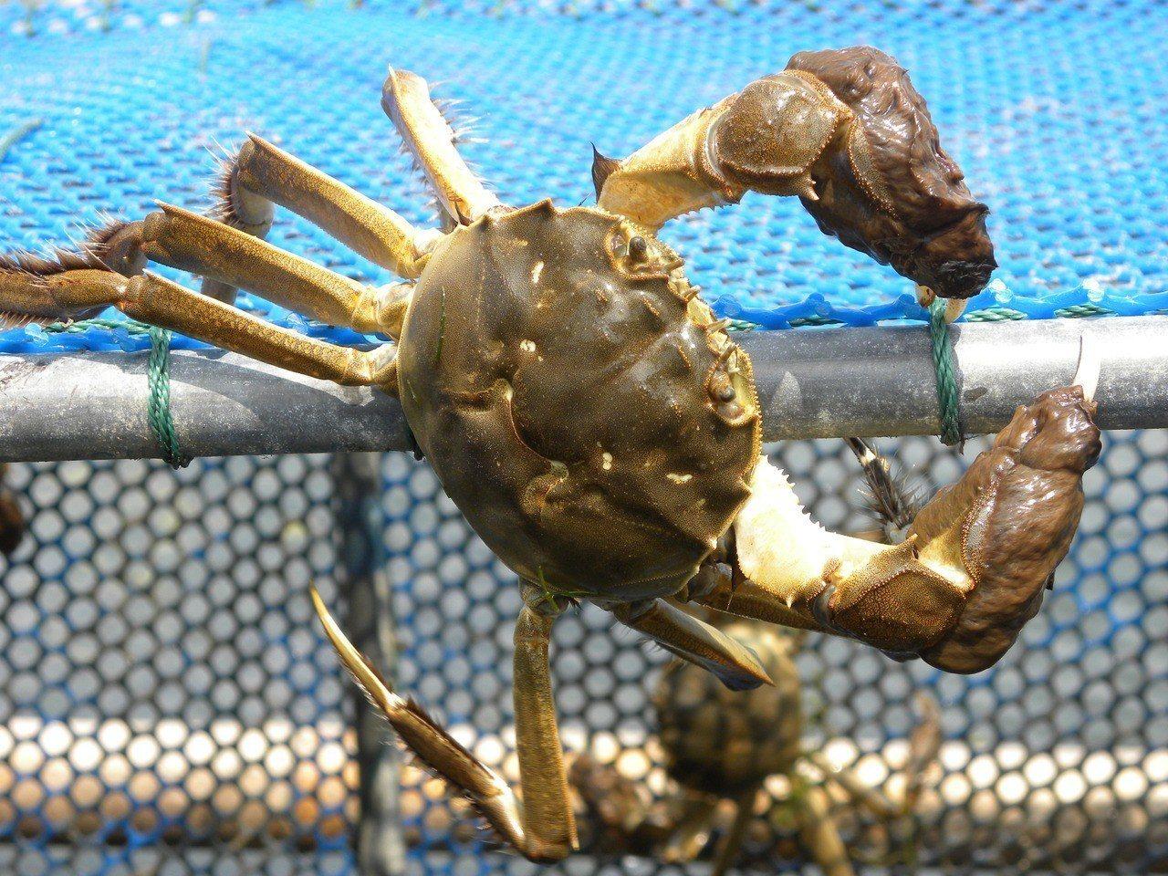 有業者尚未接受食藥署檢驗,就直接販售,讓含有戴奧辛的大閘蟹流入市面。圖/本報資料...