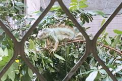 曬衣驚見樹上1米長大蜥蜴 民眾驚:酷斯拉?
