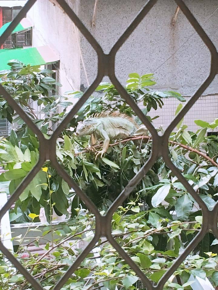 萬華西園路上昨驚現長約一米以上的綠鬣蜥,民眾嚇得趕緊拍照、錄影。圖/民眾提供