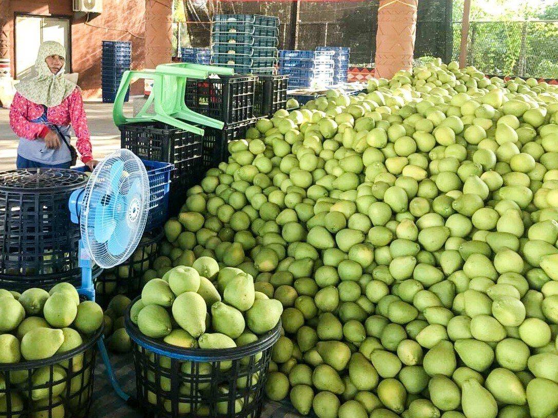 花蓮瑞穗、玉里兩地今年產出近6000萬台斤文旦柚,如今卻面臨近200萬台斤文旦滯...