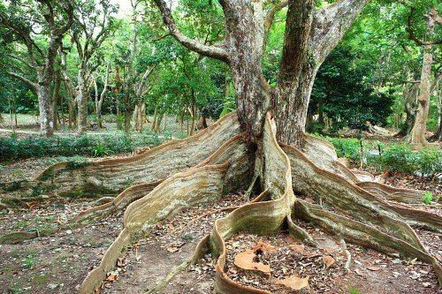 墾丁國家森林遊樂區國慶日門票半價優惠,圖為高人氣的銀葉板根樹。圖/屏東林管處提供