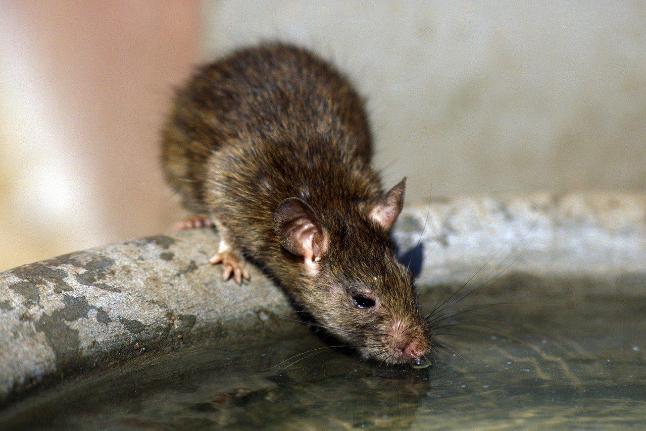 示意圖。香港無線電視台28日報導,瑪麗醫院在一名病人身上化驗出只在老鼠身上才會發...
