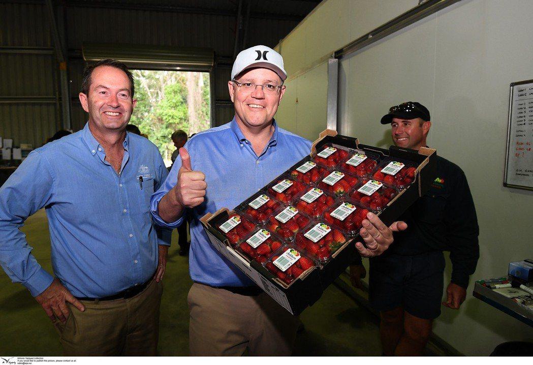 「力挺草莓農民!」澳洲總理Morrison在27日視訪昆士蘭一家草莓農場,呼籲大...