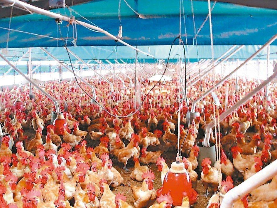 家禽禽流感保單可額外填補飼養損失。 (本報系資料庫)