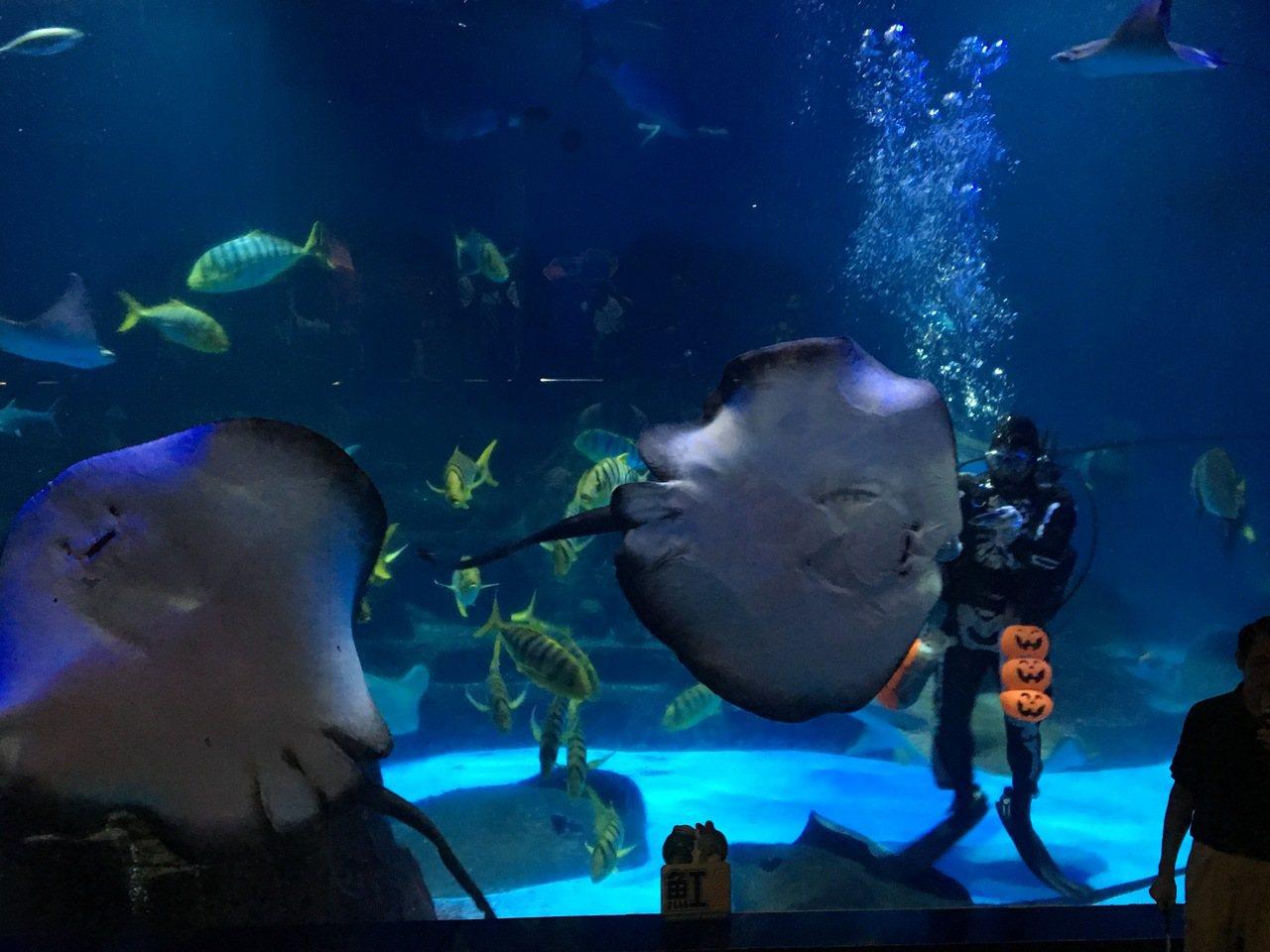 骷髏MAN現身於園區內探險島水族館與雙髻鯊、叉頭燕魟共舞。記者徐庭揚/攝影