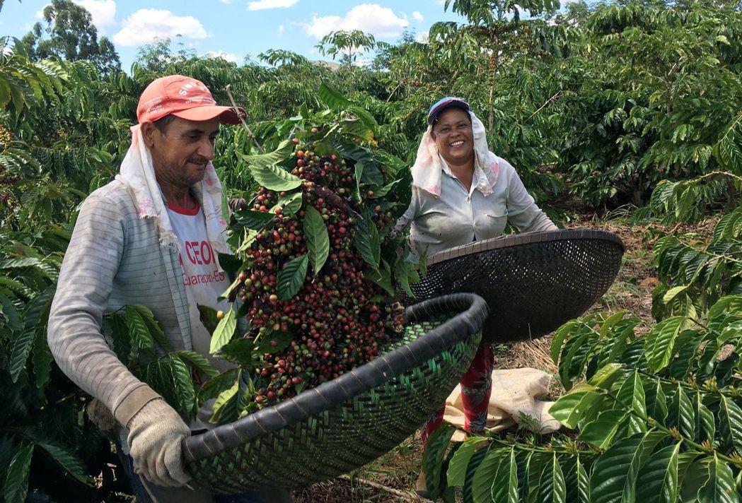 巴西咖啡農收成羅巴斯塔咖啡。 路透