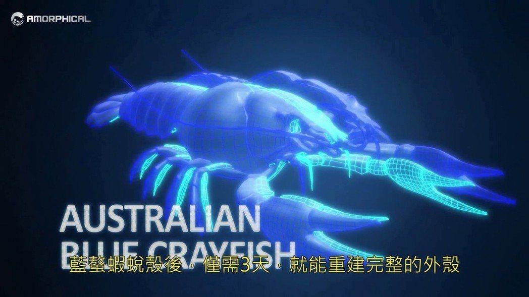 藍螯蝦更換外骨架只需3天。