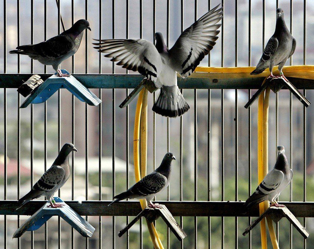 鴿友養鴿須具備的知識及技術相當複雜,包括挑選種鴿配對、育種、調配飼料、補充營養、...