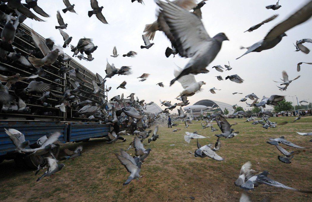 近年,賽鴿在中國急起直追,鴿業成長扶搖直上。圖為數萬羽信鴿在鄭州同時放飛的畫面。...