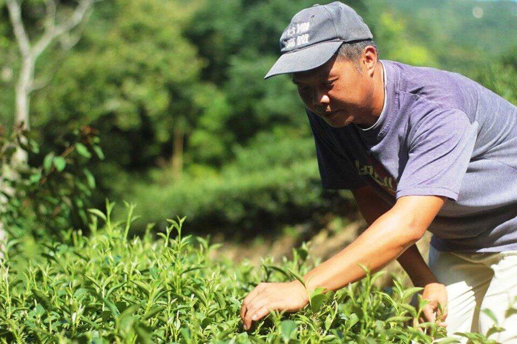 友善耕作茶農林道賢支持臺灣藍鵲茶的創立理念,改以天然方式,捨棄農藥化肥,以棲地保...