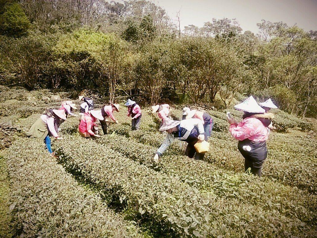 志工上山擔任一日茶農,協助清理茶園。圖/八百金股份有限公司提供