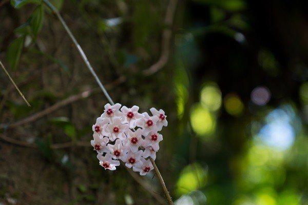 美麗的毬蘭讓人好驚艷。