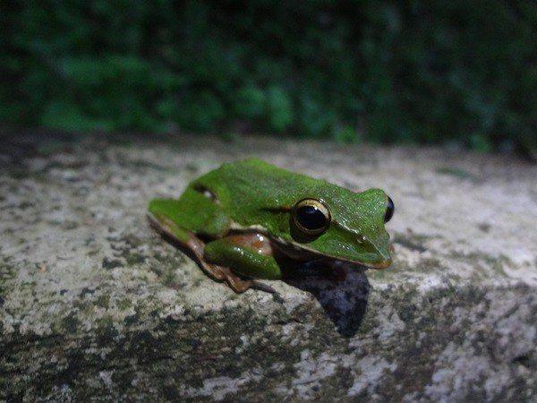 具有翠般綠色的翡翠樹蛙。