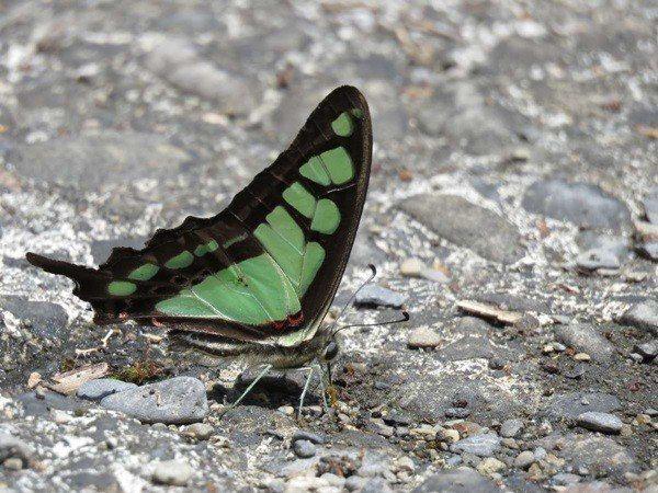 處處可見寬青帶鳳蝶。 林玉琴