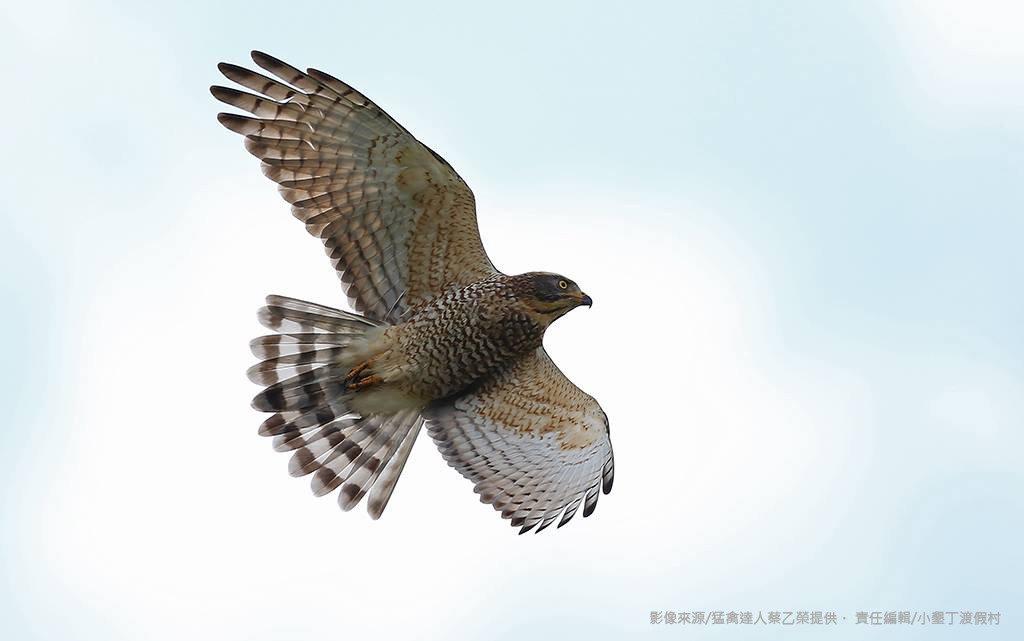 從西伯利亞和東北亞南來的灰面鵟鷹,已陸續抵達台灣北部,近日就會抵達恆春半島。圖/...
