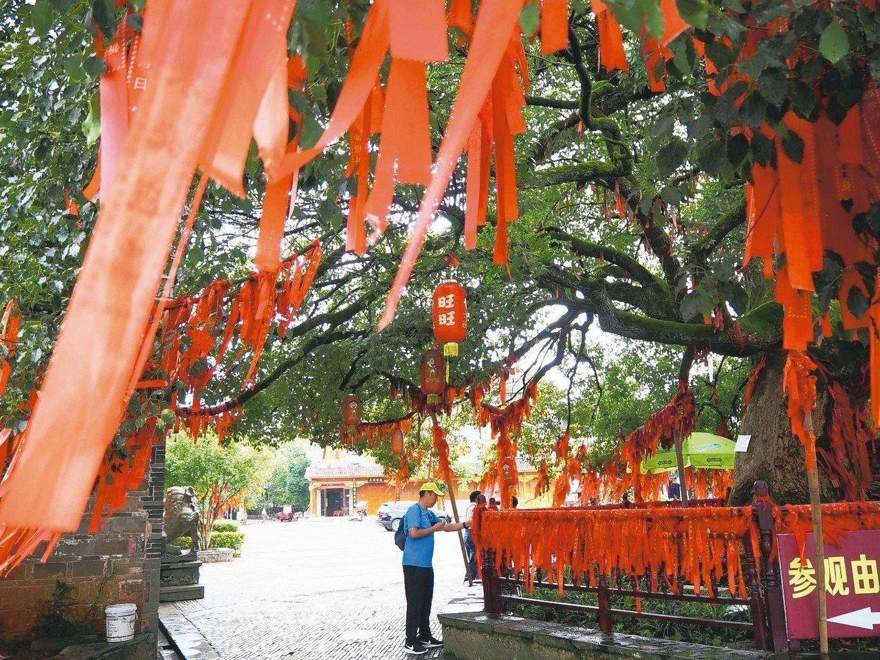 進入古鎮前,先迎古樹。 特派記者羅建怡/攝影