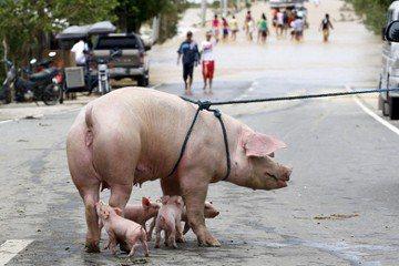 823水災後,看見「代謝」與「被代謝」的農場動物