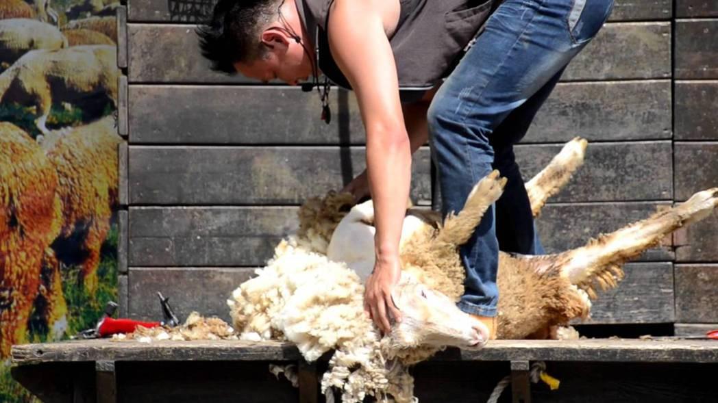 圖片來源/Youtube清境農場-青青草原-綿羊秀截圖