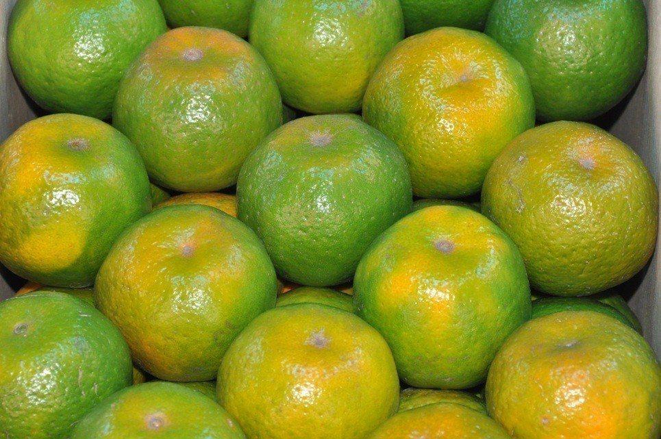 青皮椪柑新鮮上市。圖/農委會農糧署提供