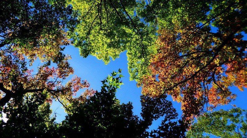 南投縣仁愛鄉奧萬大國家森林遊樂區為知名賞楓熱點,楓葉近期也漸轉紅。圖/南投林管處提供