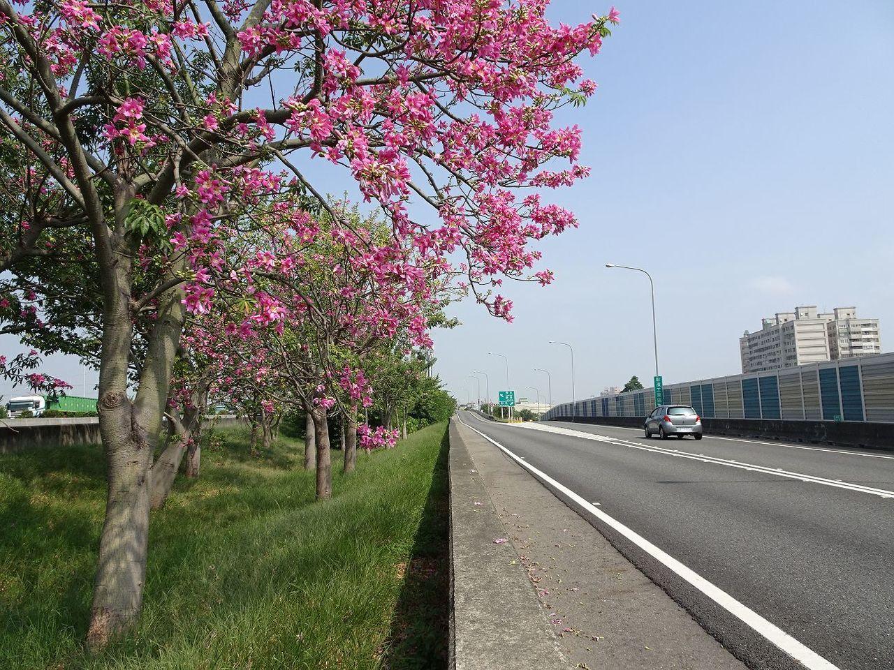 國道1號北上彰化交流道路段美人樹盛開。圖/交通部高公局提供